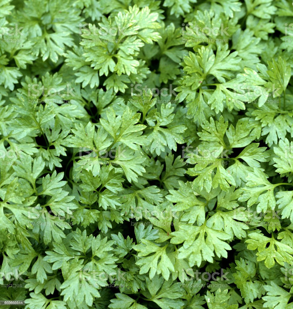 Chervil; Anthriscus; Cerefolium stock photo