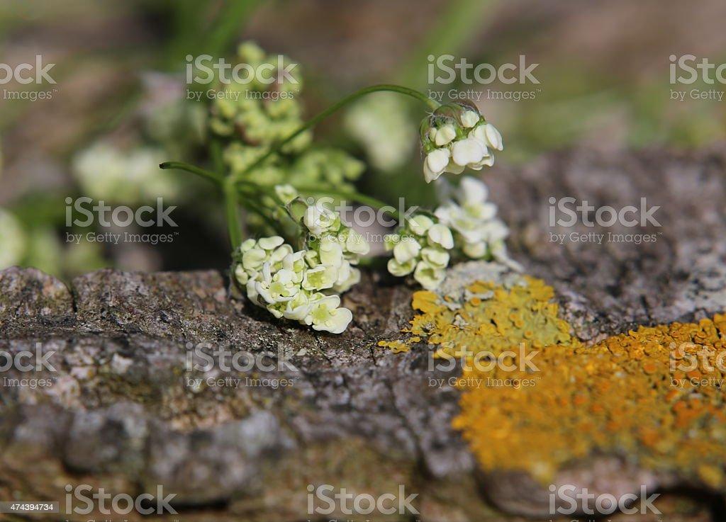 Chervil Blossoms stock photo