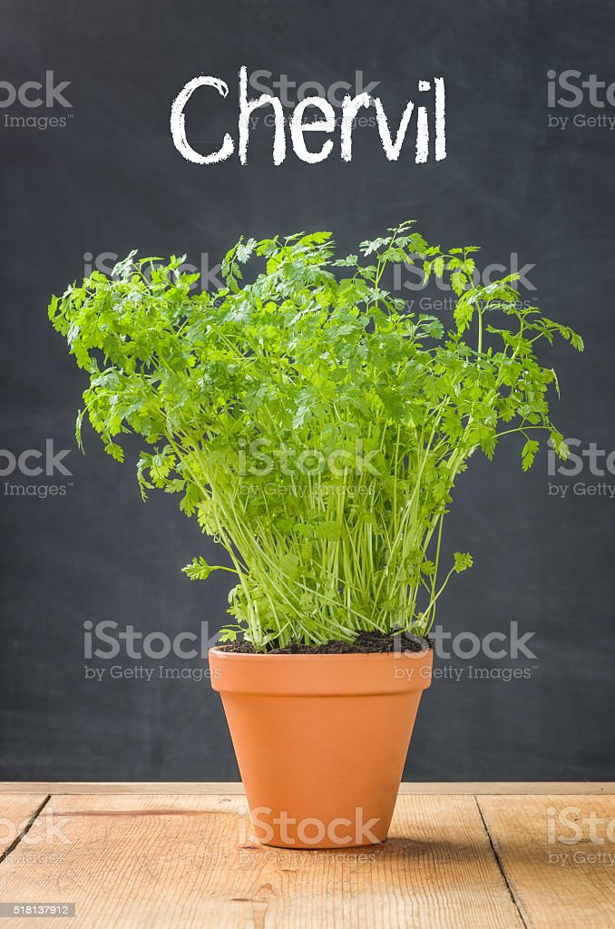 Chervil in a clay pot on a dark background stock photo