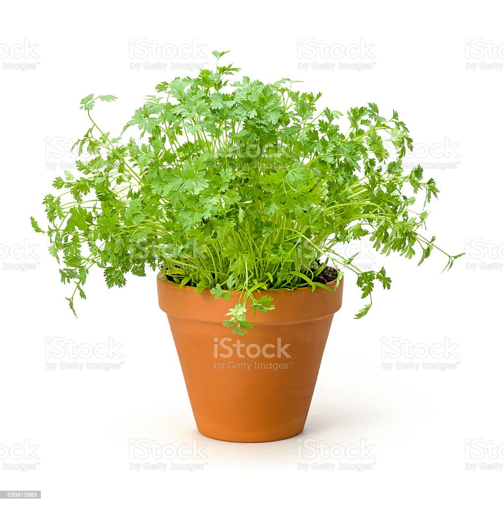 Chervil in a clay pot stock photo