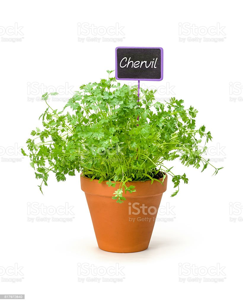 Chervil in a clay pot with a wooden label stock photo