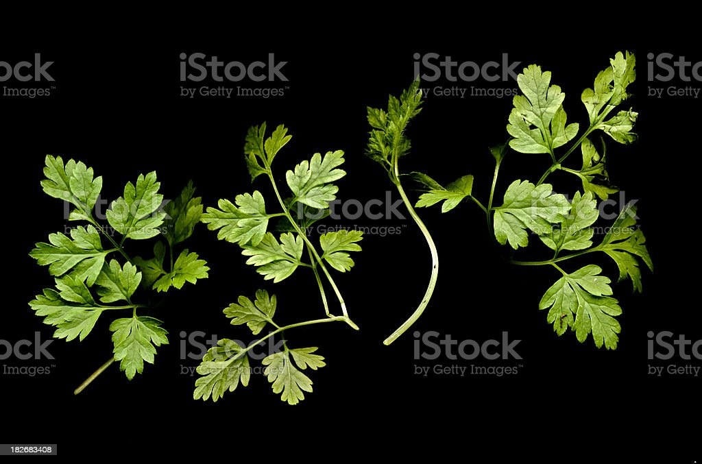Chervil (Anthriscus cerefolium) on black background stock photo