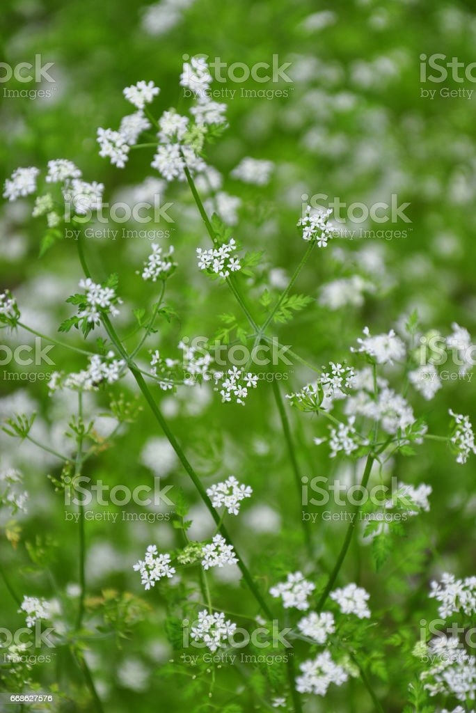 Chervil (Anthriscus cerefolium) stock photo