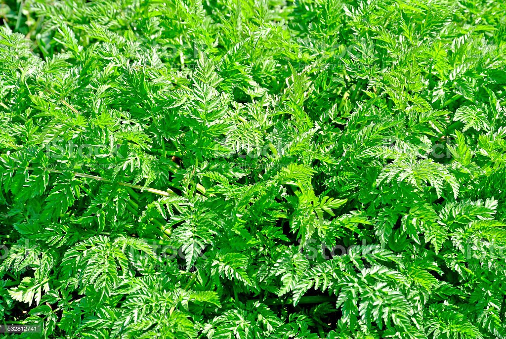 Chervil wild spice stock photo