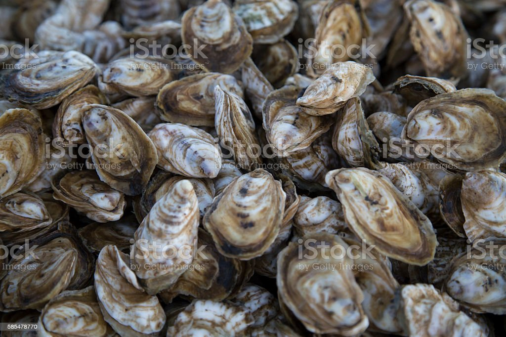 Chesapeake Bay Oysters stock photo