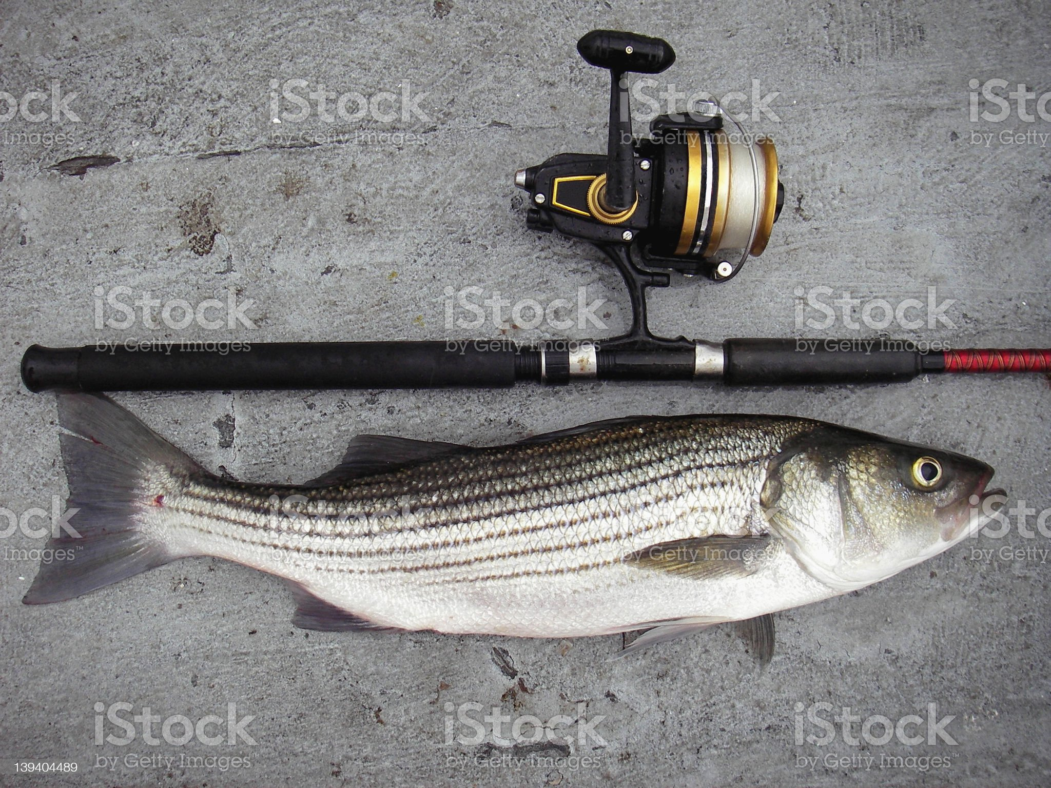 Chesapeake Bay Striper royalty-free stock photo