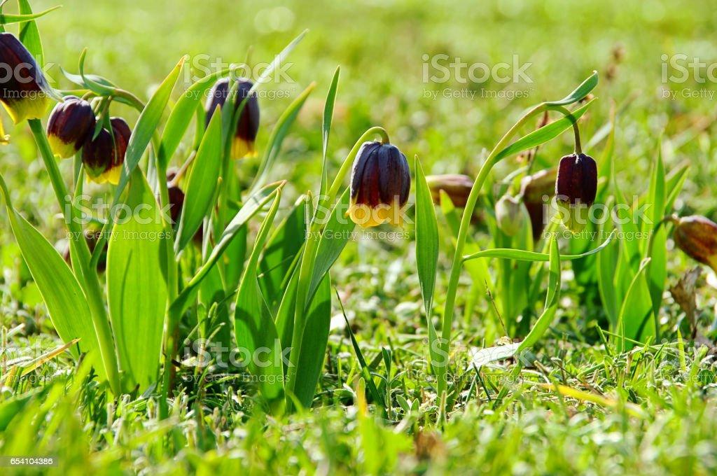 Chess Flower stock photo