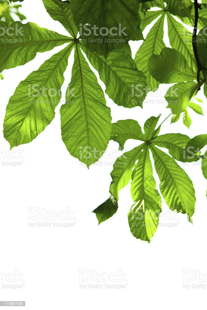 Chessnut leaves royalty-free stock photo
