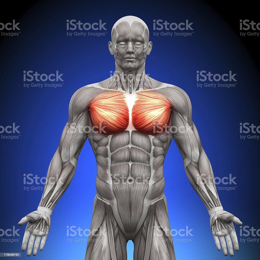 Chest Pectoralis Major Minor - Anatomy Muscles stock photo