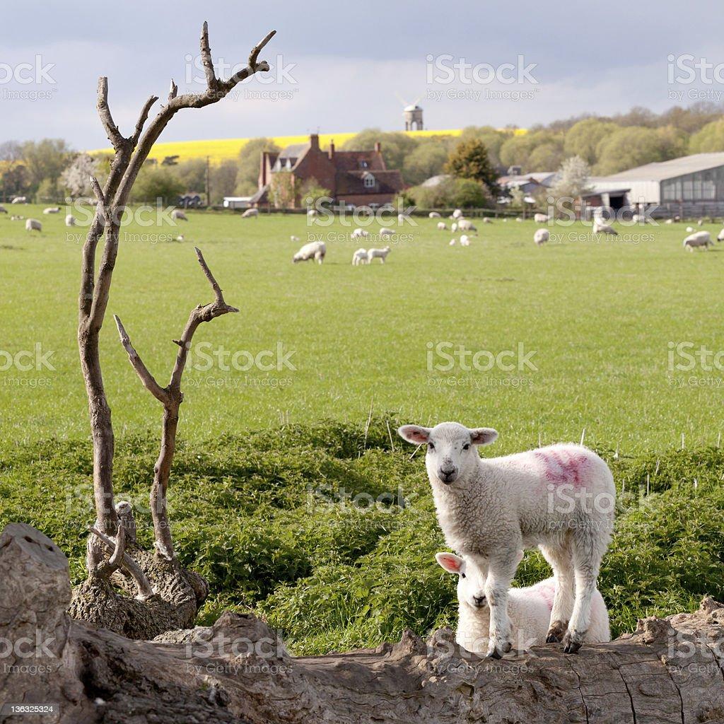 Chesterton sheep stock photo