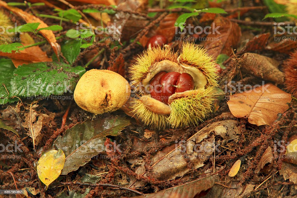 Chestnut and Paltry puffball stock photo