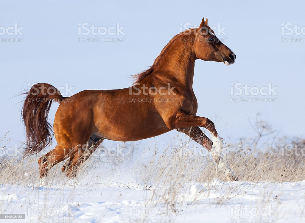 Chestnut Arabian horse in winter royalty-free stock photo