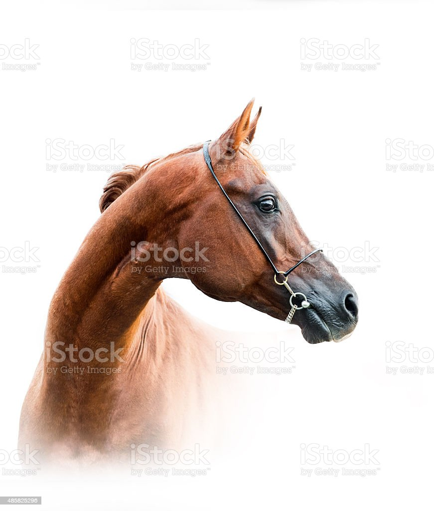 chestnut arabian stallion stock photo