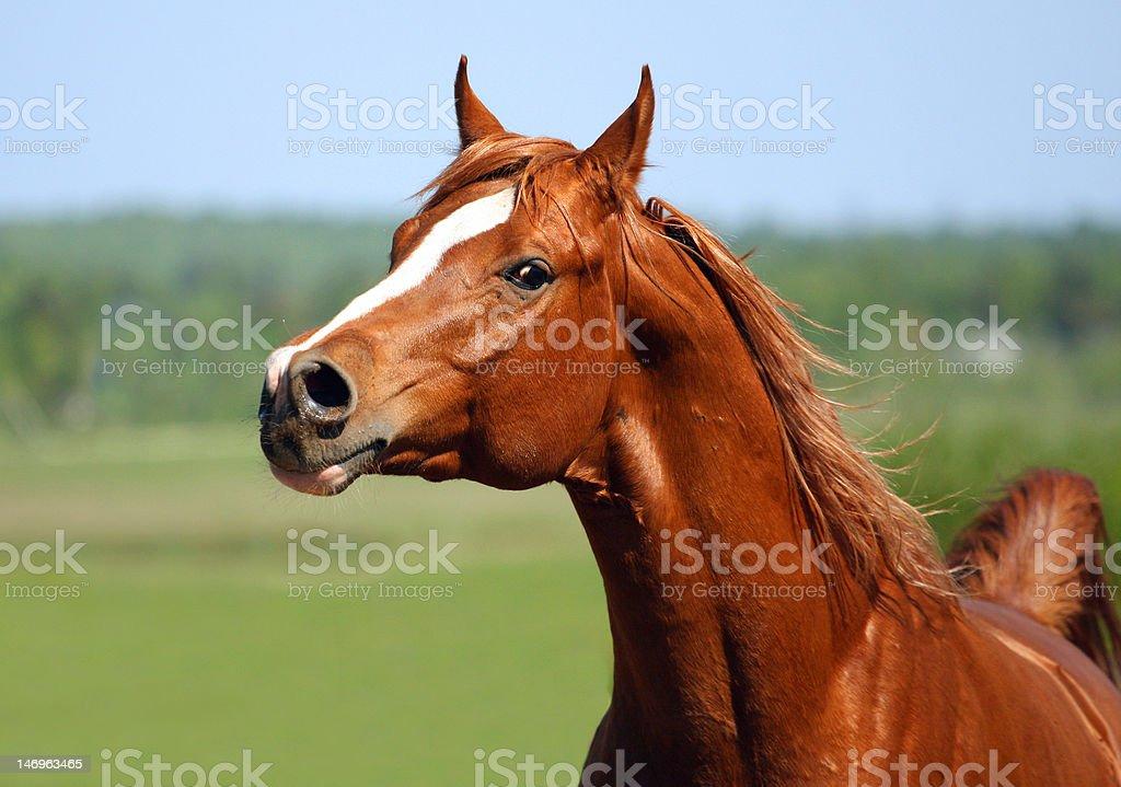 Chestnut arabian stallion portrait royalty-free stock photo