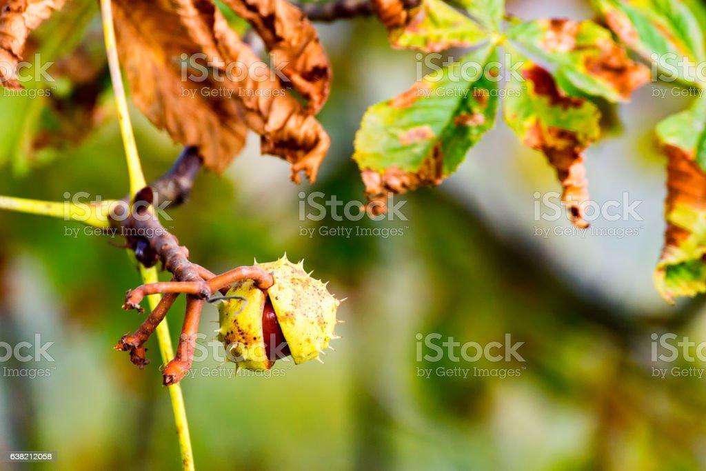 Chestnut at the Tree 4 stock photo