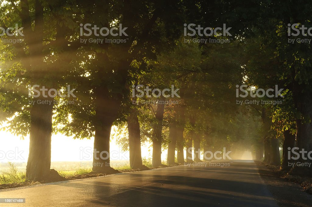 Chestnut avenue in the foggy morning royalty-free stock photo