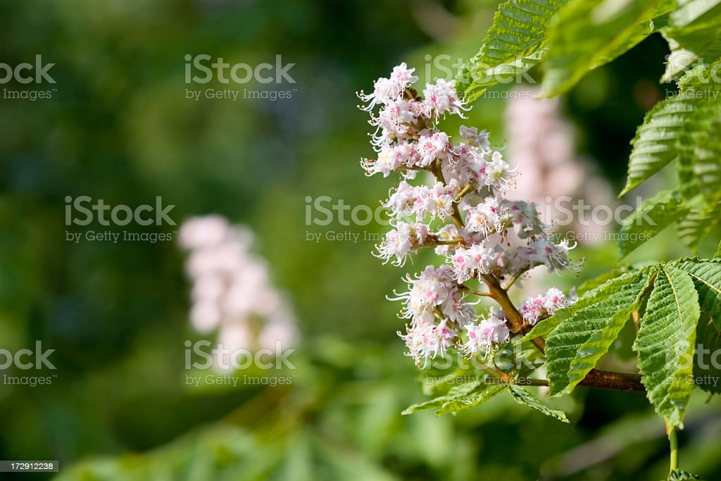 A chestnut blossom on a nice day stock photo