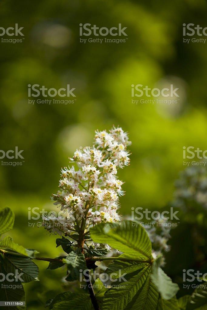 chestnut blossoms horizontal XXXL royalty-free stock photo