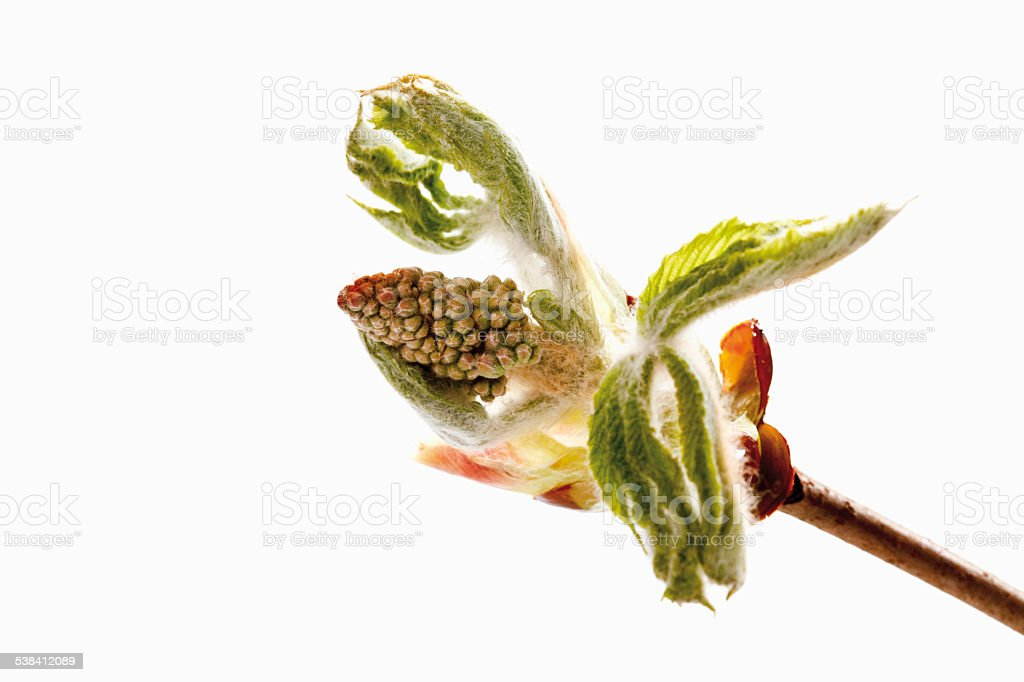 Chestnut buds stock photo