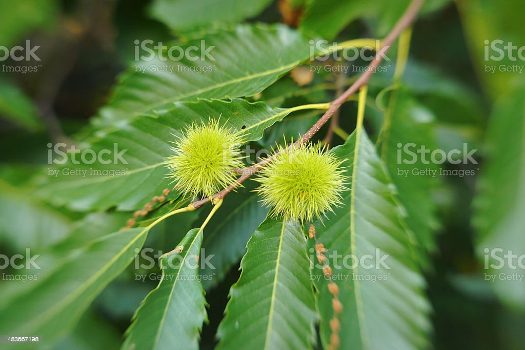 Chestnut burrs on the tree-close-up with bokeh stock photo