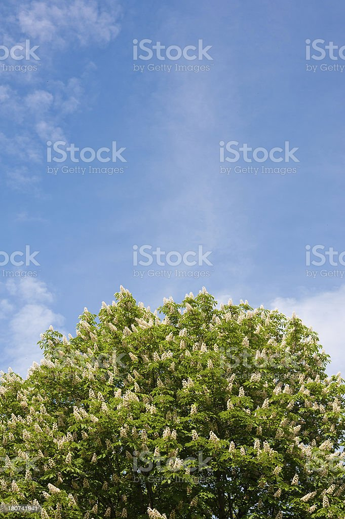 Chestnut Canopy royalty-free stock photo