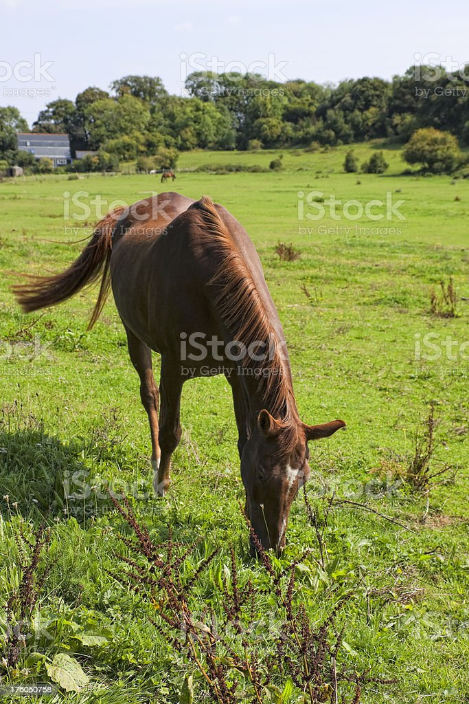 Chestnut coloured horse grazing in a field stock photo