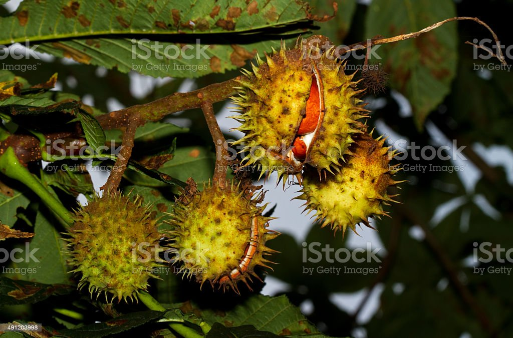 Chestnut conkers stock photo