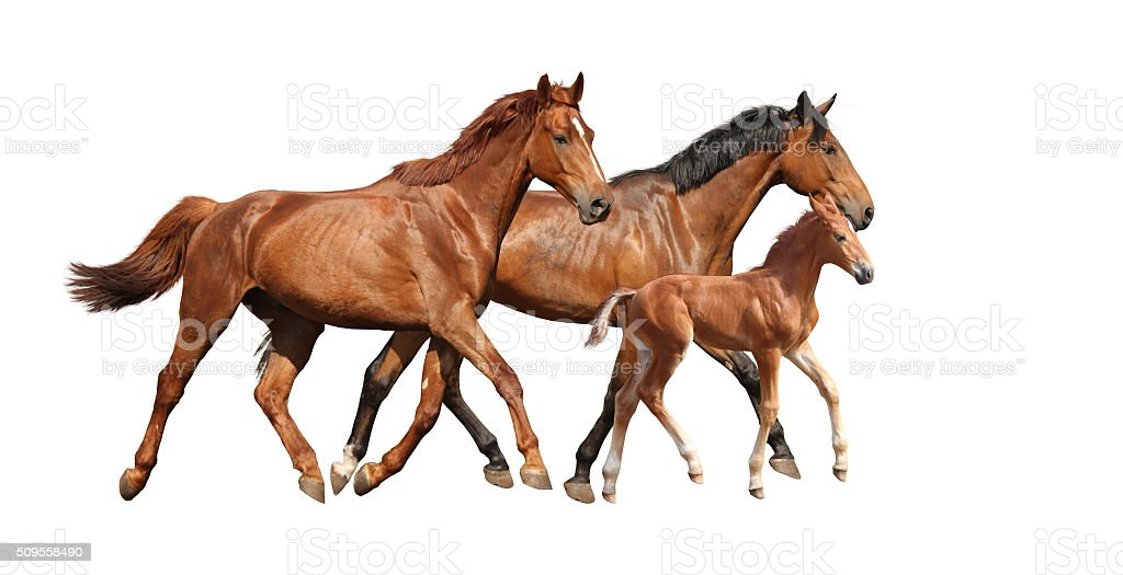 Chestnut cute foal running free with his parents stock photo