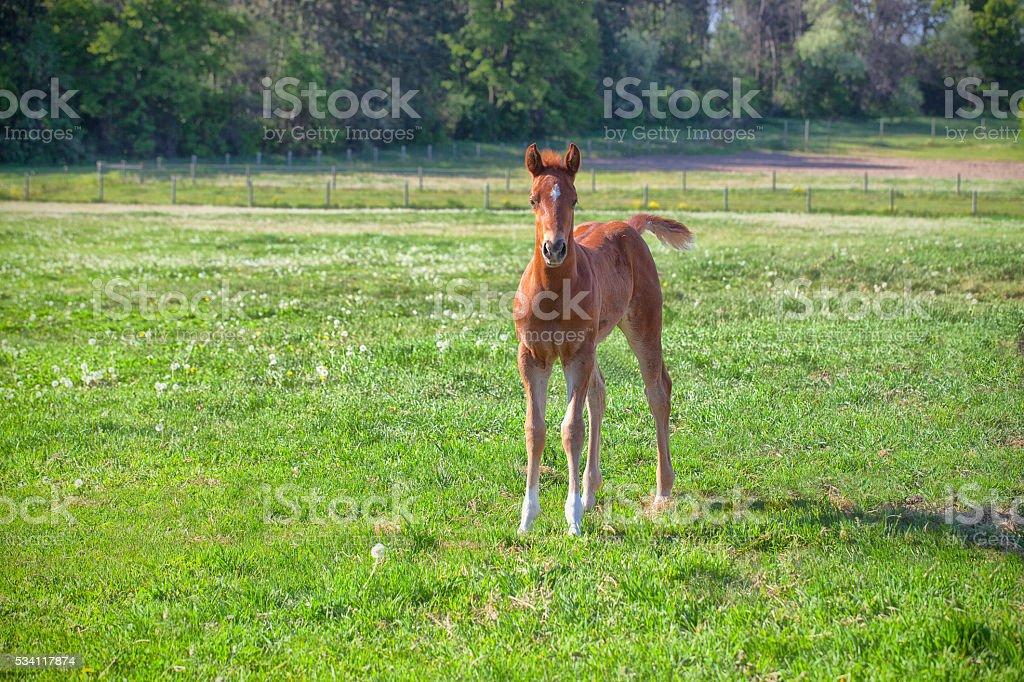 Chestnut Foal stock photo