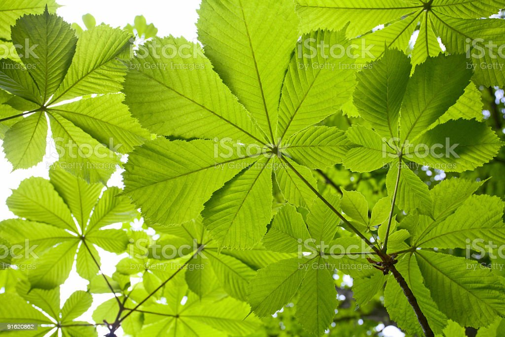 chestnut foliage background royalty-free stock photo