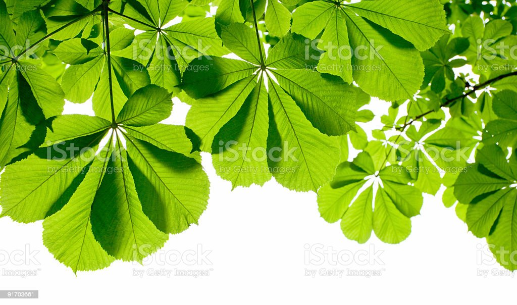 chestnut foliage royalty-free stock photo