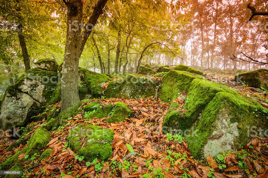 Chestnut forest in autumn with rocks and moss stock photo