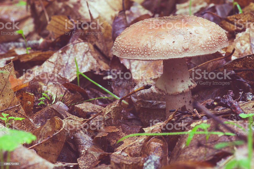 chestnut forest mushrooms stock photo