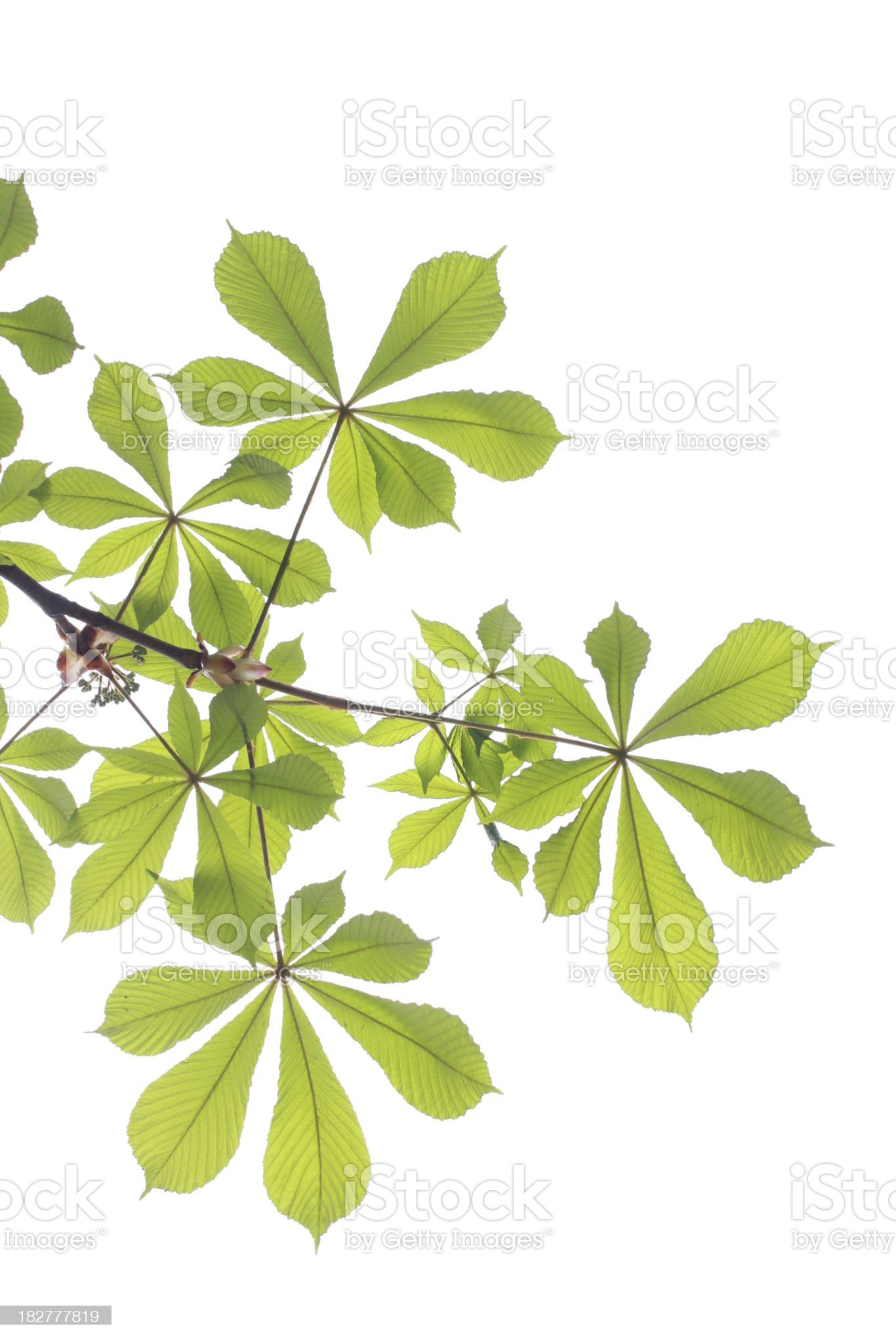 Chestnut fresh leaves in spring royalty-free stock photo