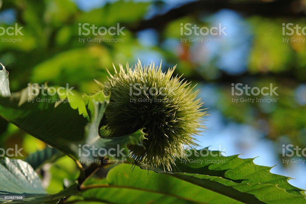chestnut fruit stock photo