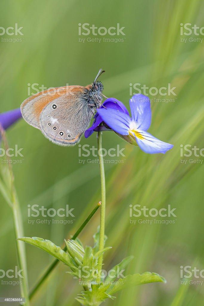 Chestnut Heath Butterfly stock photo
