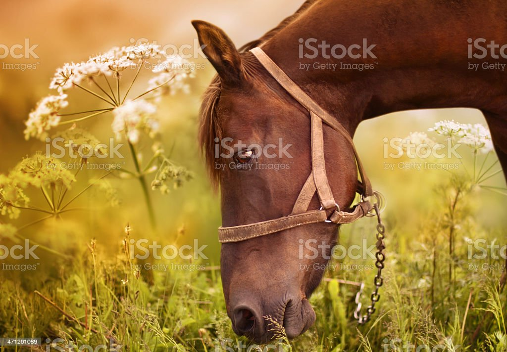 Chestnut horse eating grass on the field royalty-free stock photo