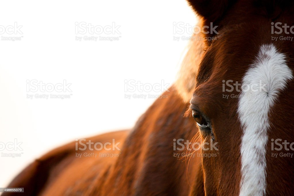 Chestnut horse eye close up stock photo
