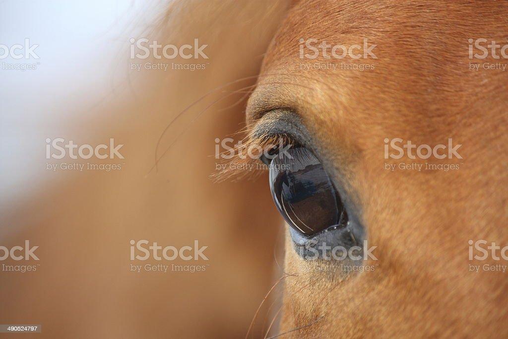 Chestnut horse eye stock photo