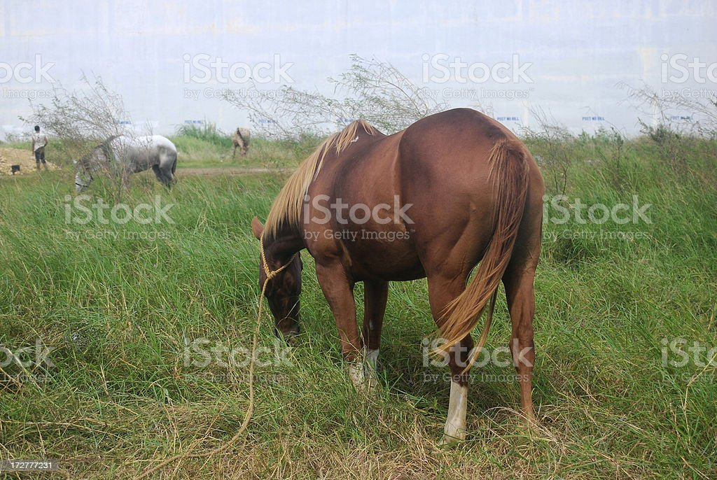 Chestnut Horse Grazing royalty-free stock photo