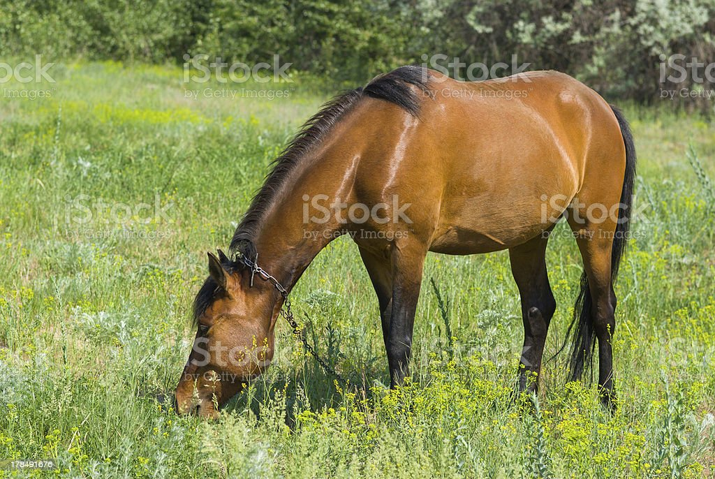 Chestnut horse on a spring pasture royalty-free stock photo