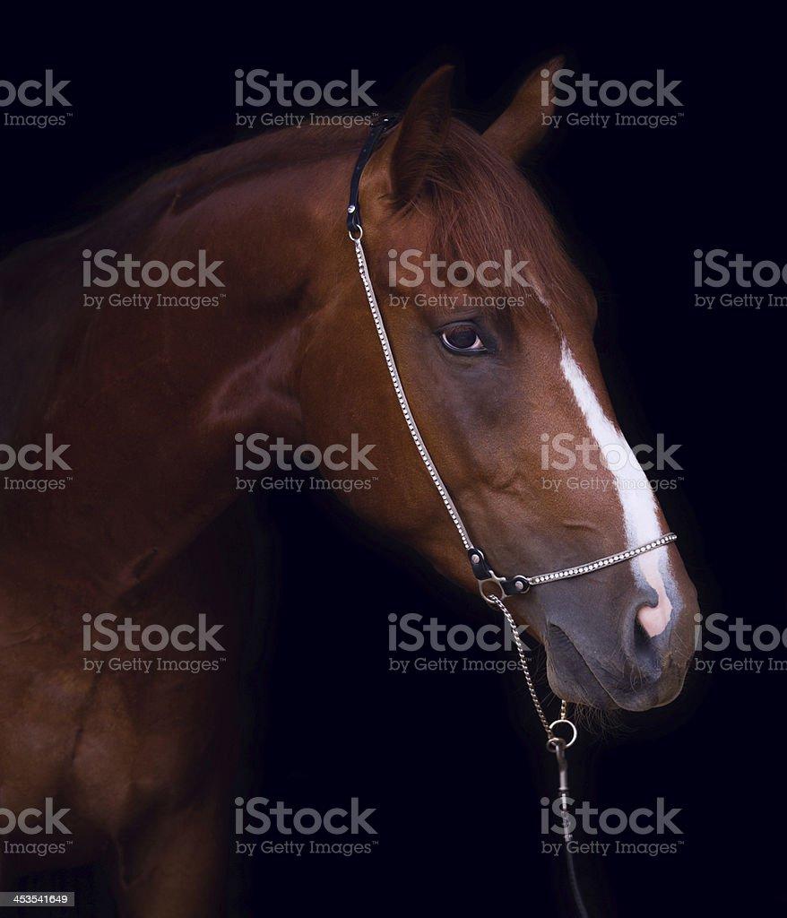 Chestnut horse royalty-free stock photo