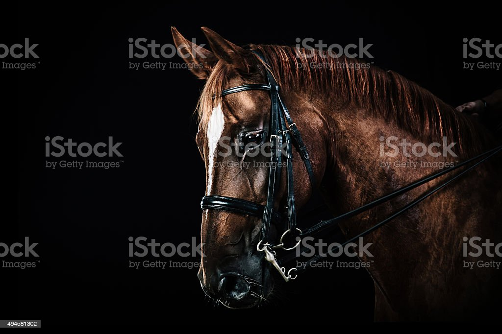 Chestnut horse portrait stock photo
