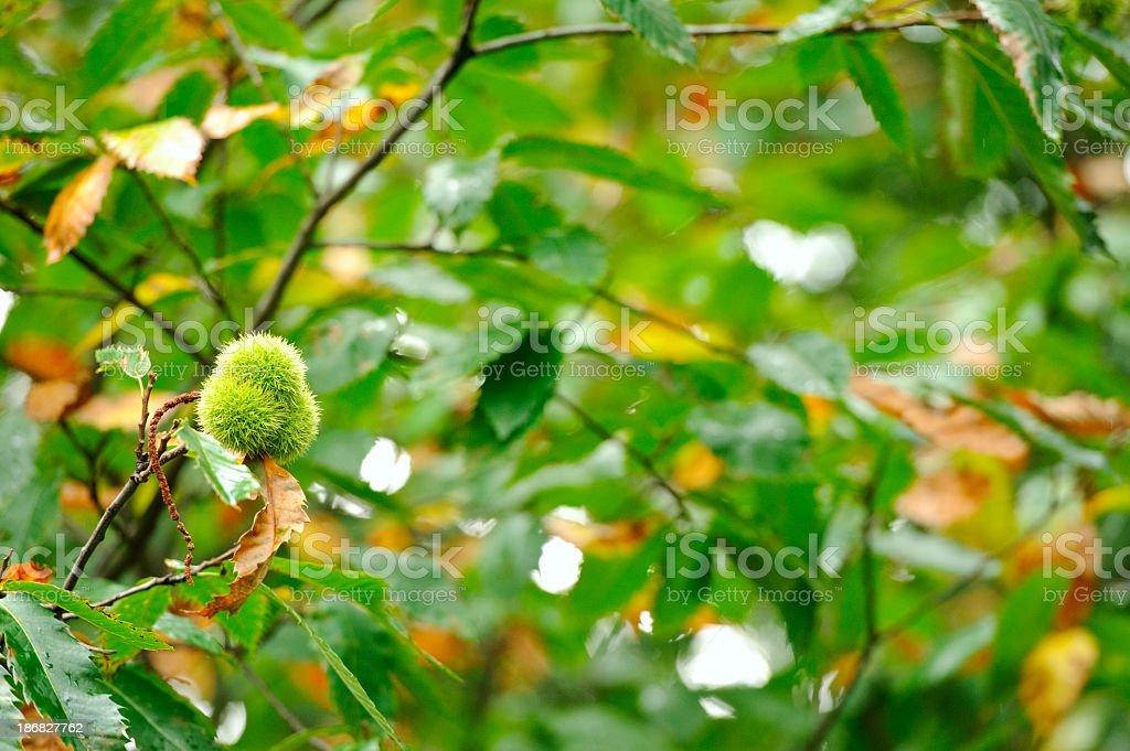 Chestnut husk royalty-free stock photo