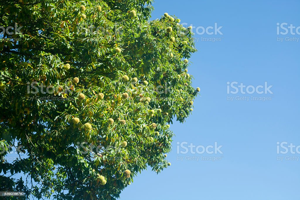 Chestnut husks hanging fron a chestnut tree. stock photo