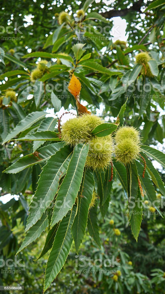 Chestnut in the green tree stock photo
