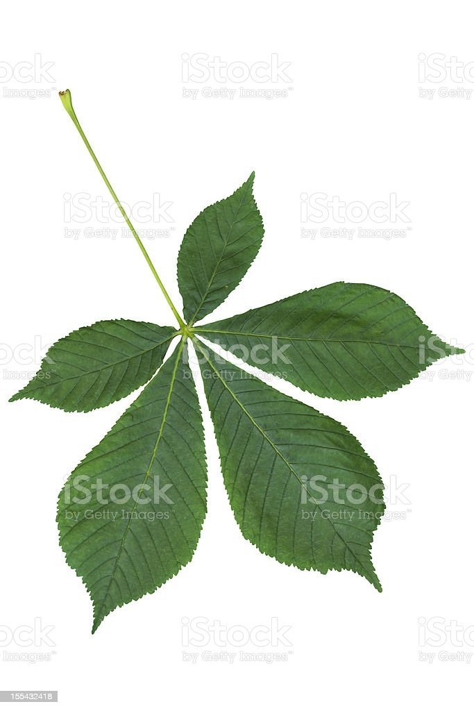 Chestnut leaf isolated on white with clipping path stock photo