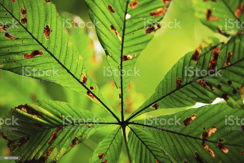 Chestnut leaf stock photo