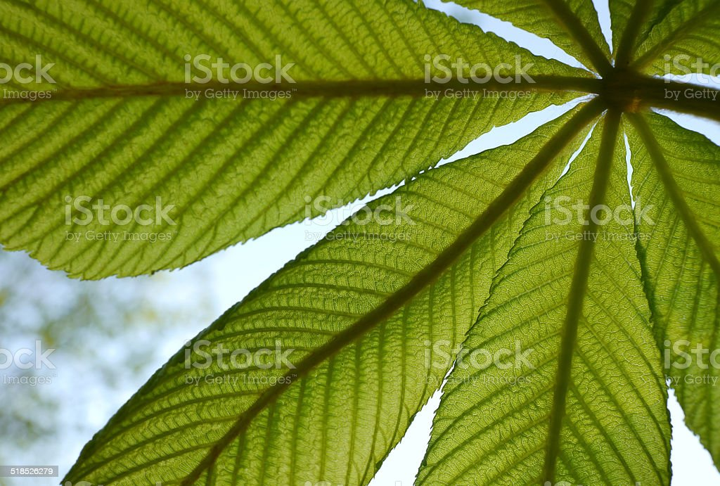 Chestnut leaf seen from below royalty-free stock photo