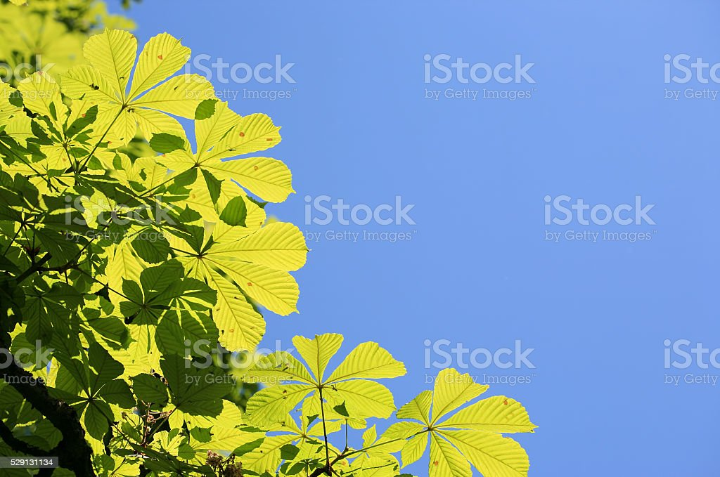 Chestnut leaves and blue sky with copy space stock photo
